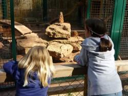 Meerkat family in enclosure